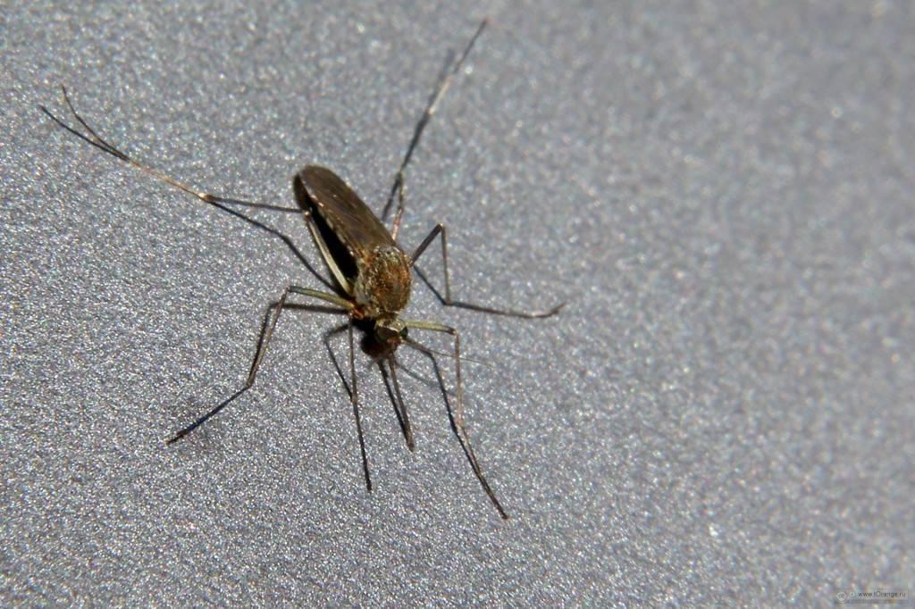 Средства от мошек и комаров: народные рецепты защиты