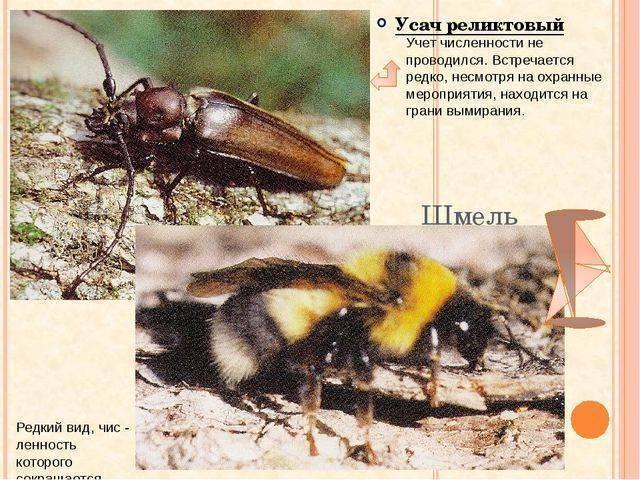 Небесный усач: фото и образ жизни великолепного насекомого
