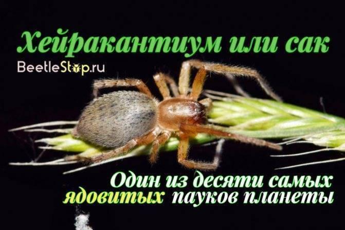 Ядовитые истории из жизни паука сак
