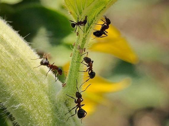 Чем вывести муравьев с огорода, дачи или сада, используя народные средства