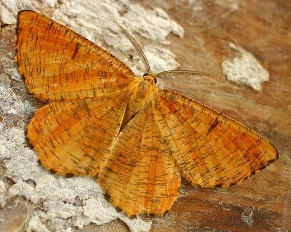 Березовая пяденица: фото и видео бабочки и гусеницы. меры борьбы с ней