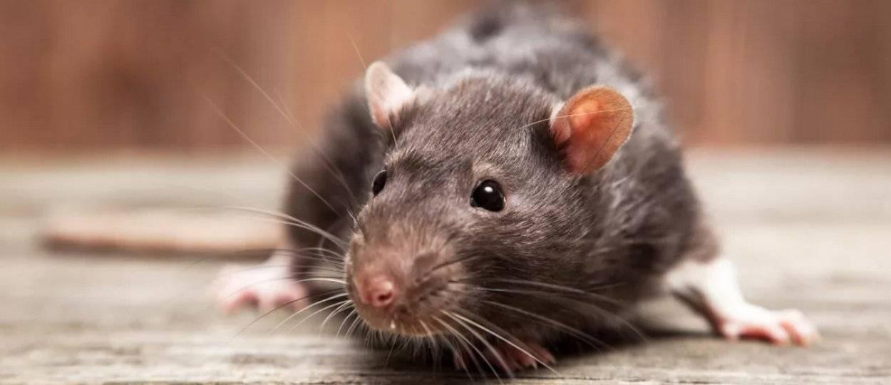 Крыса — описание и характеристика