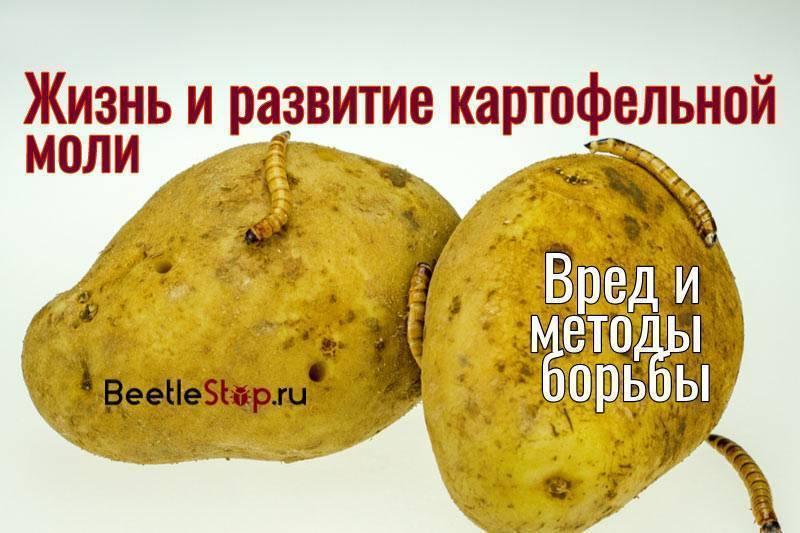 Картофельная моль (фото) - как обнаружить и победить