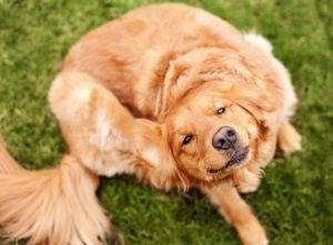 Лечение собаки в домашних условиях, после укуса клеща