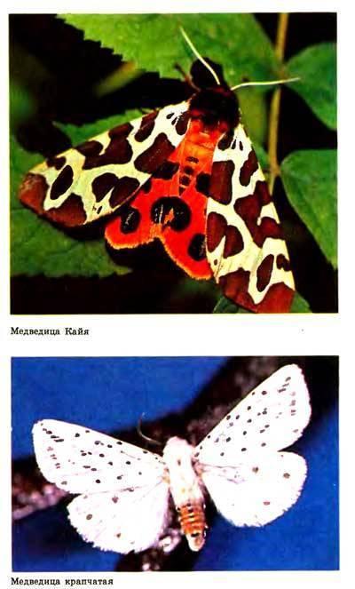 Бабочка медведица госпожа – летнее чудо у ручья