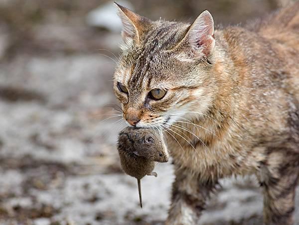 Чего боятся крысы — народные средства и запахи от крыс