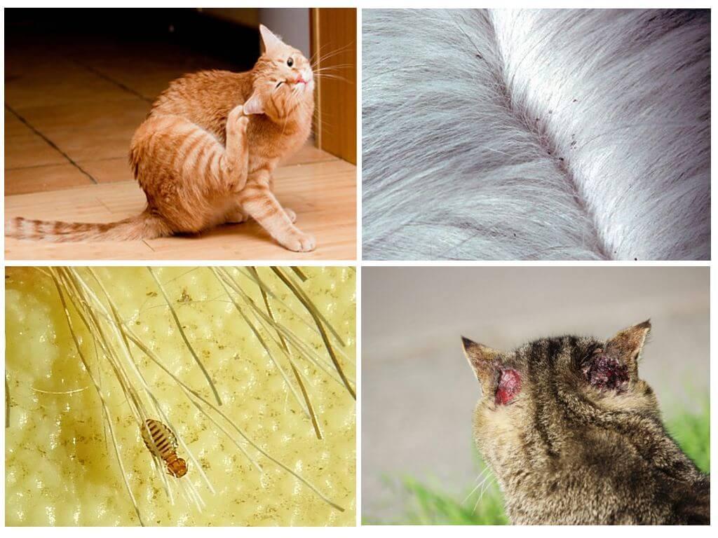 Бывают ли вши у животных, как их лечить и могут ли они передаться человеку