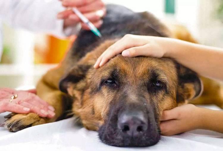 Собаку укусил клещ симптомы и лечение