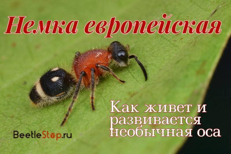 Немка европейская— бархатный муравей с острым жалом