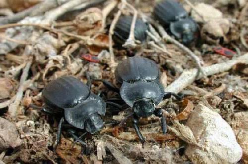 Медляки – опасные вредители полей