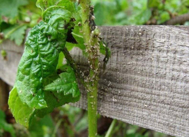 Спасаем от тли смородину: чем обработать смородину от галловой тли?  народные средства для борьбы с тлей на смородине