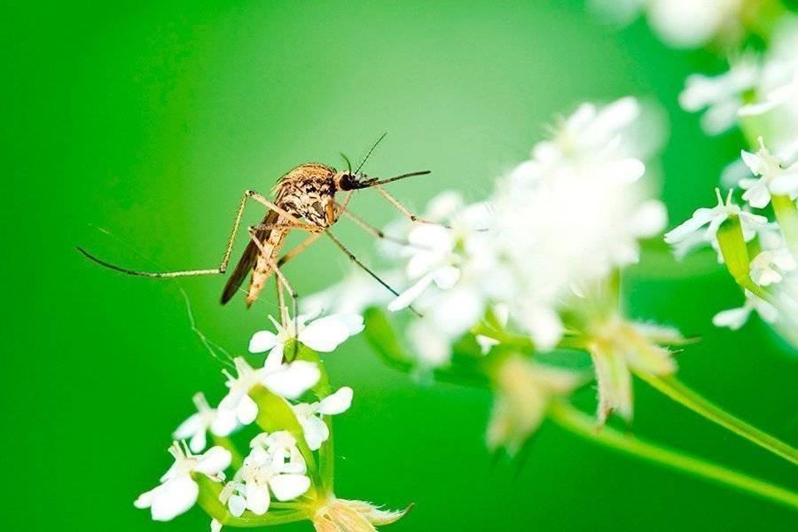 Как приготовить средство от комаров из шампуня, уксуса и масла