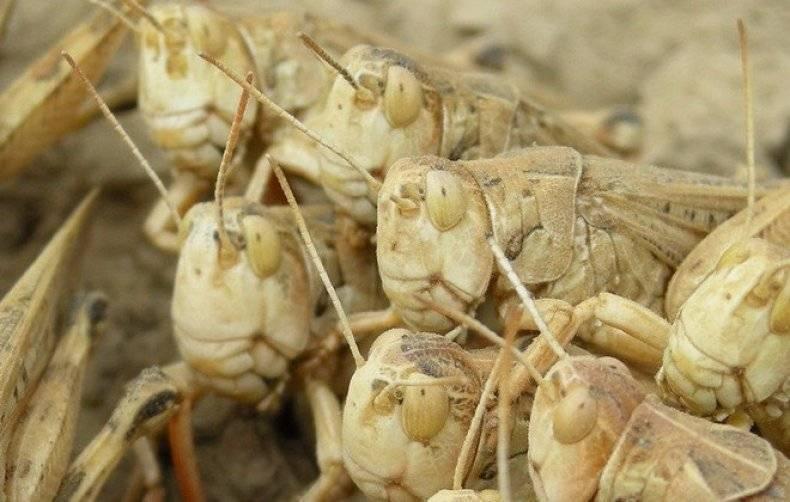Борьба с саранчой на приусадебном участке