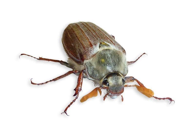 Профилактика, средства и методы борьбы с малинным жуком