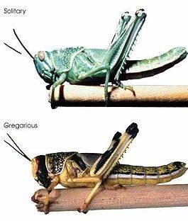 Меры борьбы с саранчой в зависимости от вида: гигантская, пустынная, азиатская, марокканская