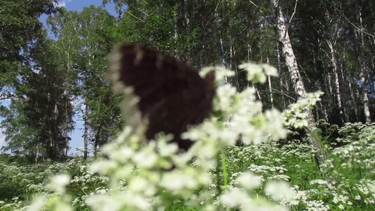 Бабочка адмирал (vanessa atalanta): полная характеристика
