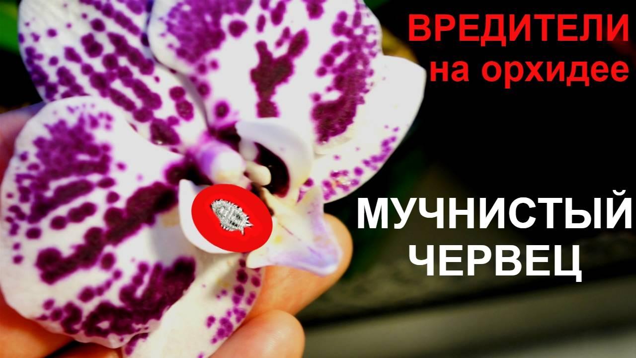 Мучнистый червец: как бороться, средства и препараты