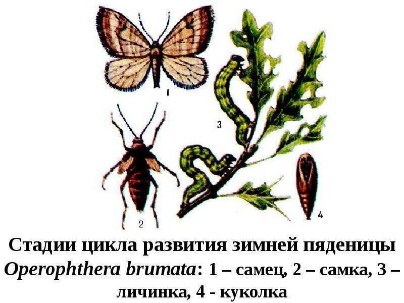 Вишня птичья / черешня: вредители, методы борьбы и защита урожая