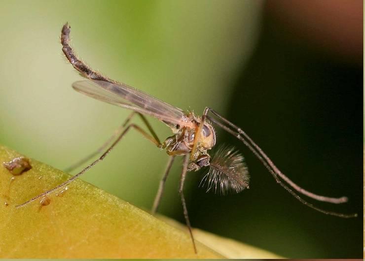 Комар — внешние признаки, отличительные особенности питание, жизненный цикл +102 фото