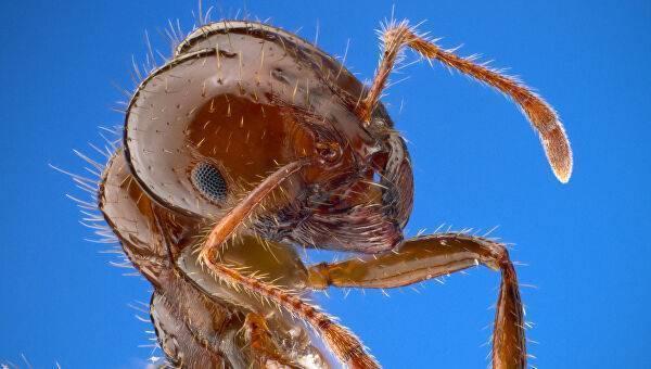 Красные или огненные муравьи-жнецы