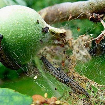Яблоневая моль: способы борьбы с вредителем