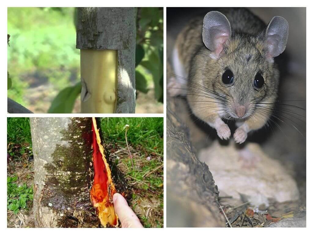 4 способа, как восстановить кору, которую погрызли мыши