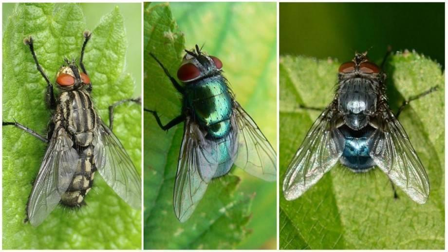 Сколько живут мухи?