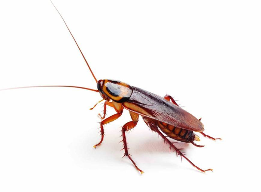 Почему появляются белые тараканы