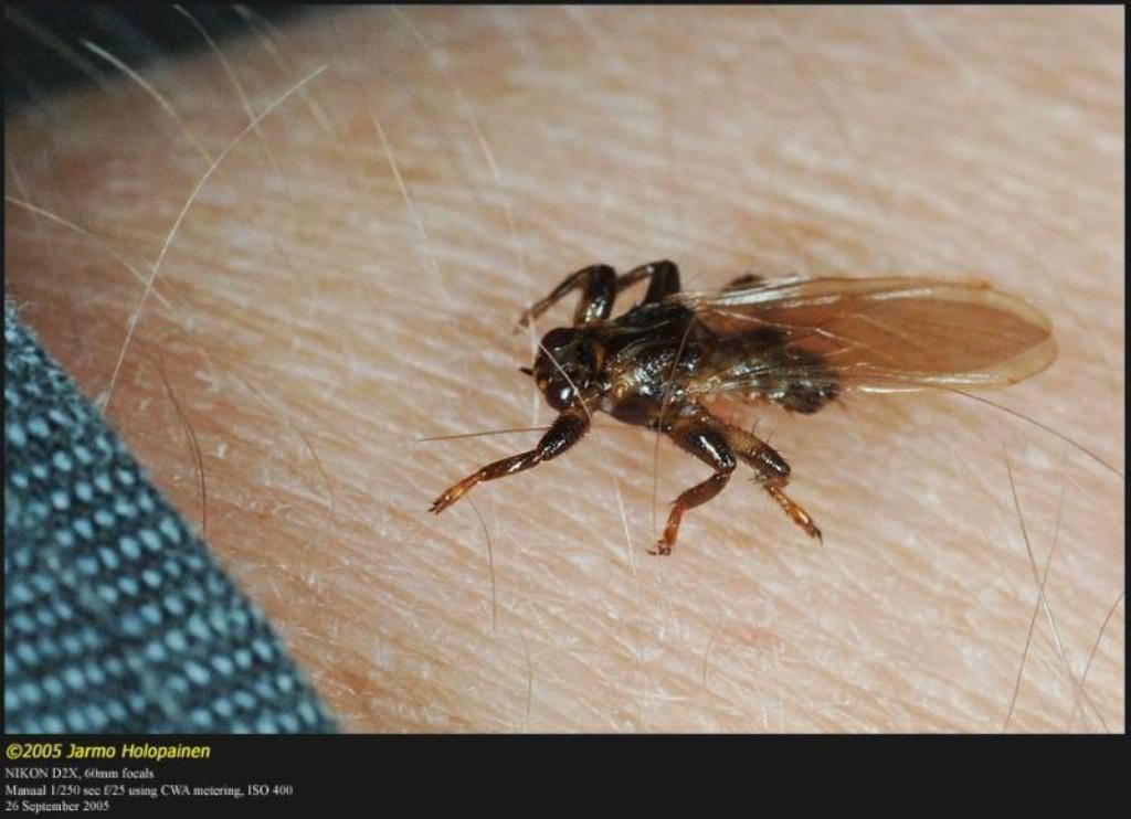 Лосиная муха в квартире откуда. кровососка ─ лосиная муха