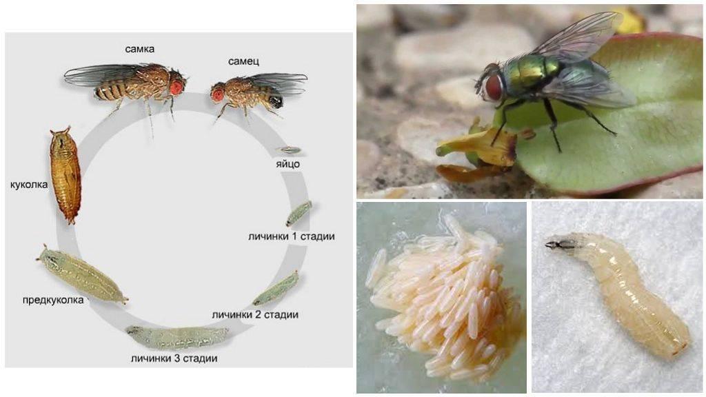 Опасные мухи. человеческая плоть для личинок - лучший деликатес. что будет, если съесть яйца или личинки мухи ю.б. «аиф»: где эти «людоеды» живут