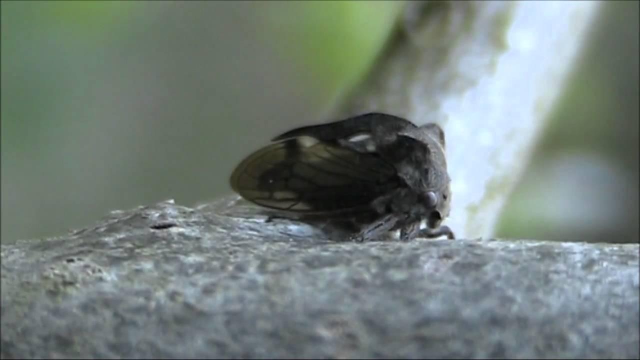 Горбатка обыкновенная