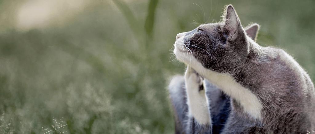 Почему у кошки расчесы. почему кошка чешется, если нет блох