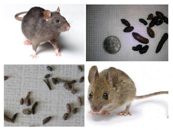 В чем отличие мыши от крысы: обзор характеристик