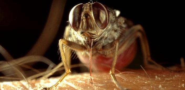 Муха цеце – курьер сонной болезни