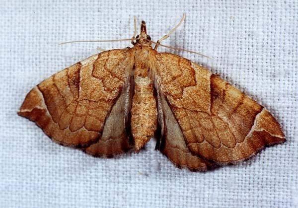 Бабочка пяденица: крыжовниковая, зимняя, обдирало, описание внешнего вида с фото