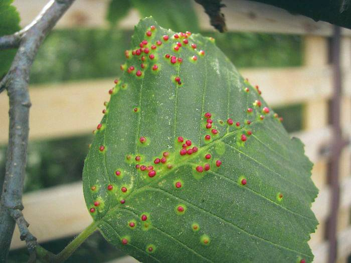 Причины появления и меры борьбы с галловым клещем на груше