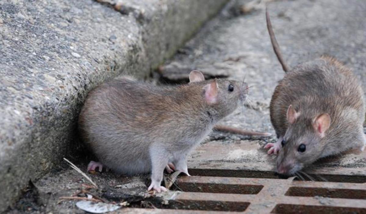 Как избавиться от крыс под капотом автомобиля
