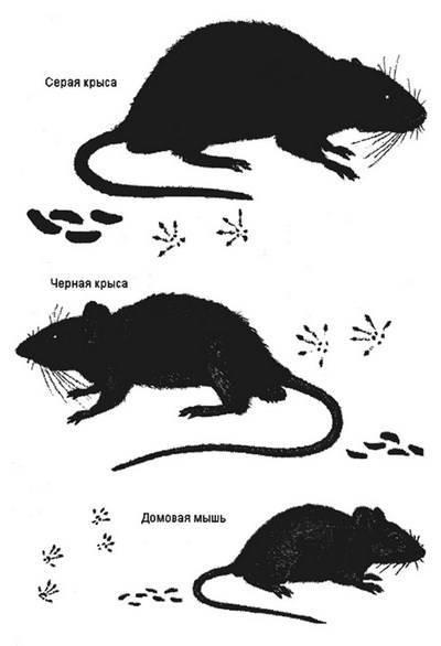 Как выглядят маленькие крысы