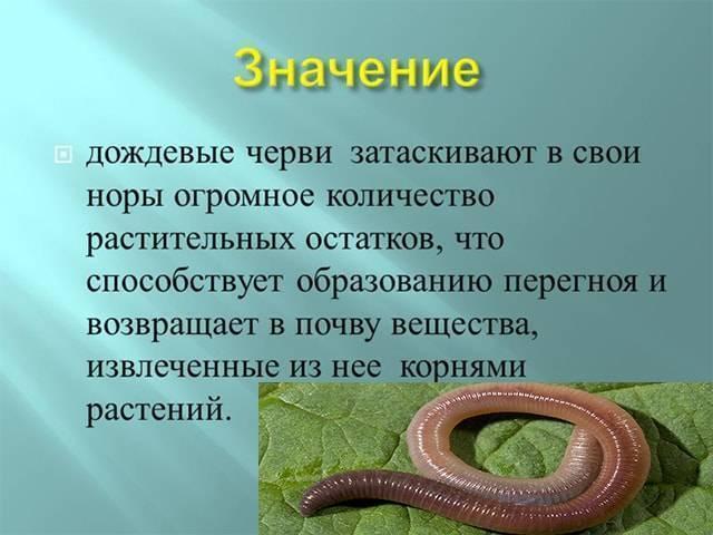 Что едят червяки дождевые