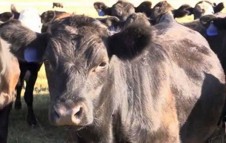 Вши у коров и телят