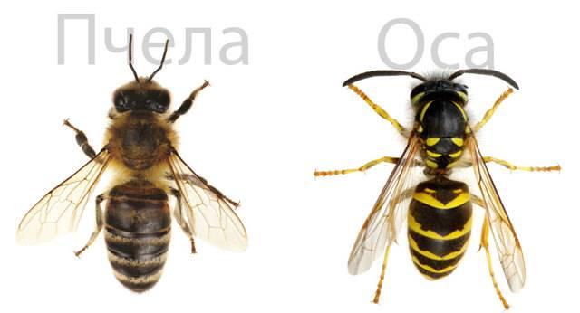 Чем отличаются осы от пчёл?