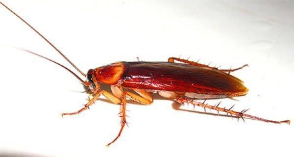 Жизненный цикл и способ размножения домашних тараканов
