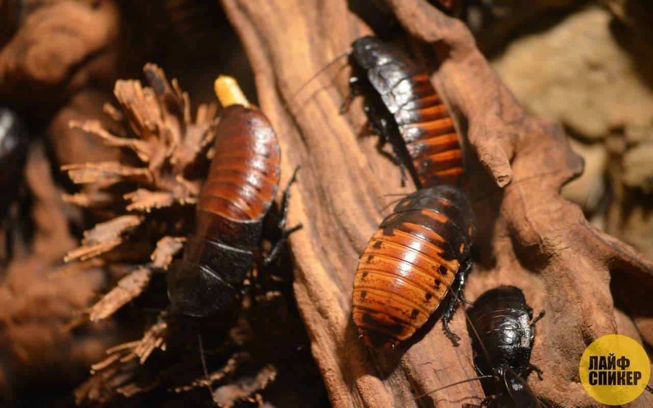 Как живут самые большие тараканы в мире. самый большой таракан: таракан-носорог