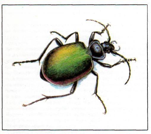Стрекоза большое коромысло – истребитель кровососущих насекомых на суше и в воде