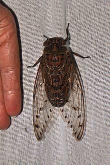 Насекомое цикада: внешний вид и образ жизни