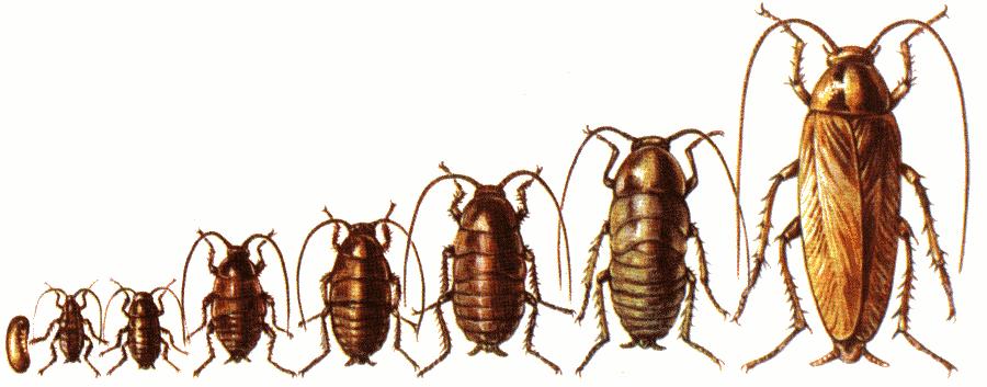 Сколько живут домашние тараканы без еды и воды
