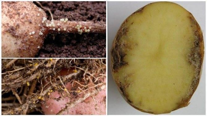Нематоды картофеля — стеблевая, золотистая и другие