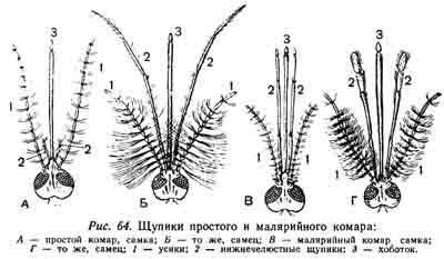 Как размножаются комары: особенности, характерные для летающих кровососов