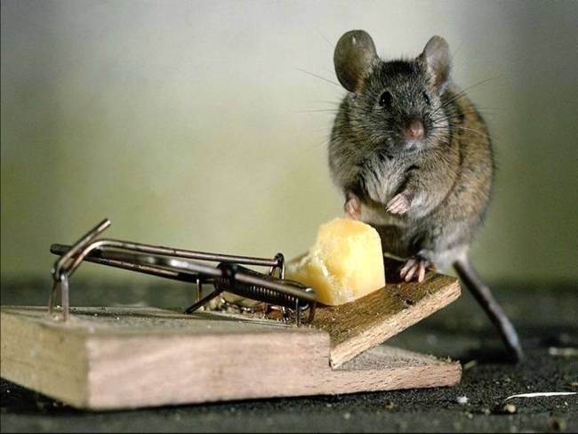 Способы избавится от мышей в квартире