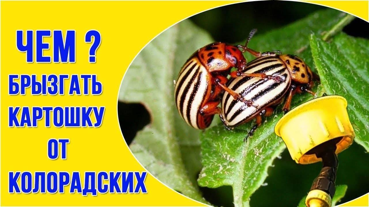 Как использовать деготь в борьбе от колорадского жука, способы и советы